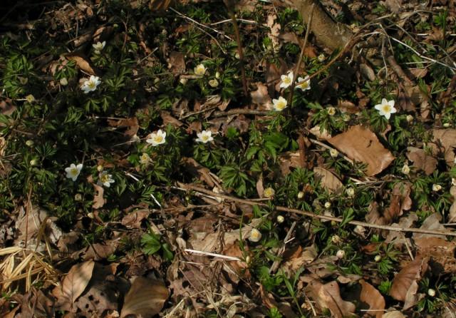 Anemonerne er kommet! Billedet er fra Dragerup skov ved Holbæk  i dag