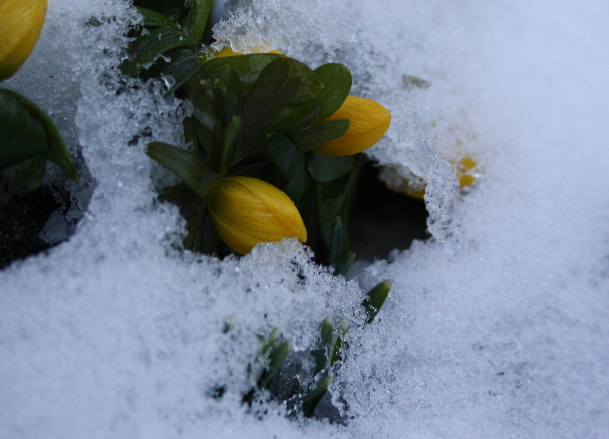 erantis i sne