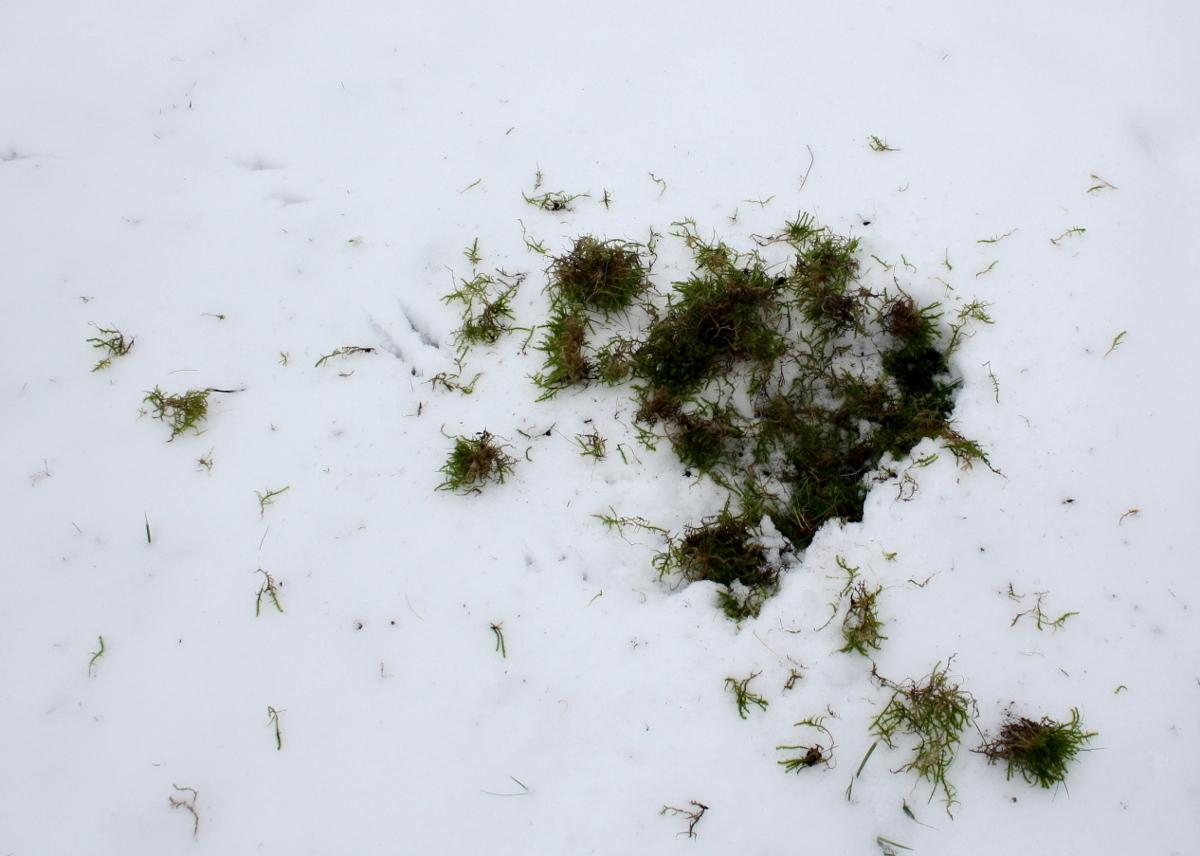 græs i sne