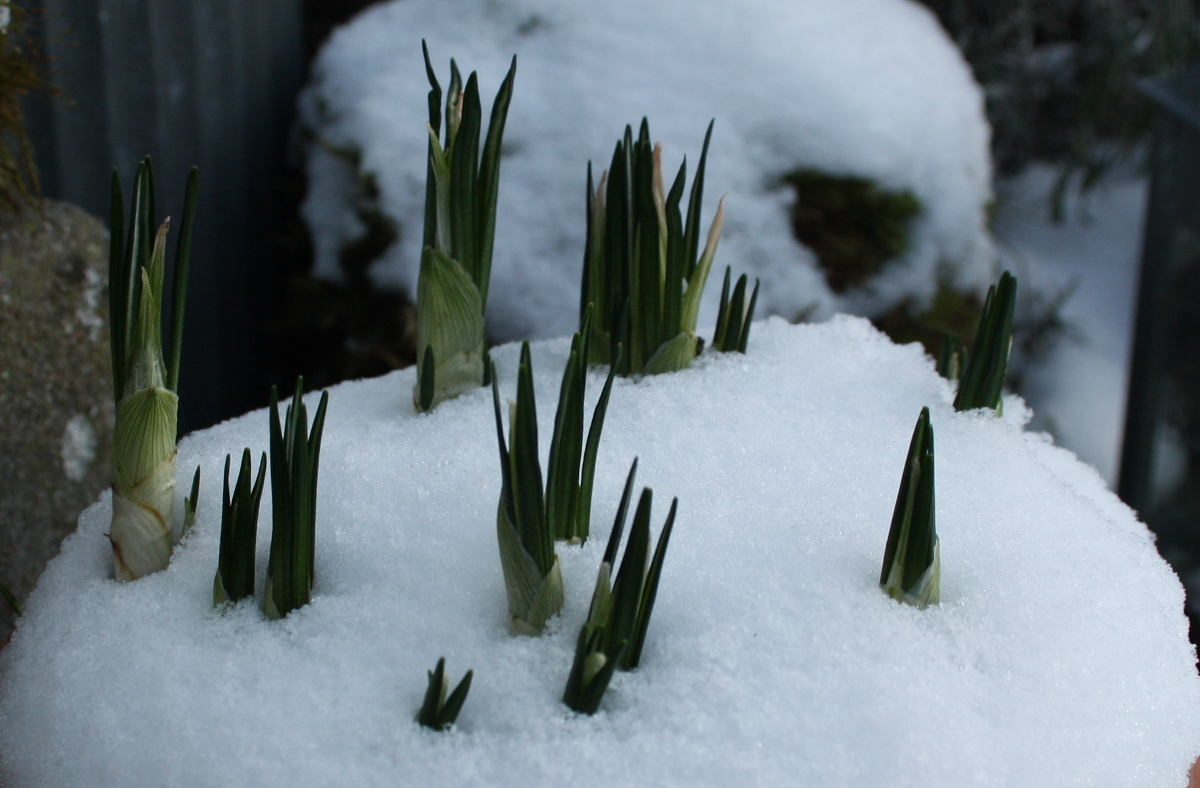 krokus i sne