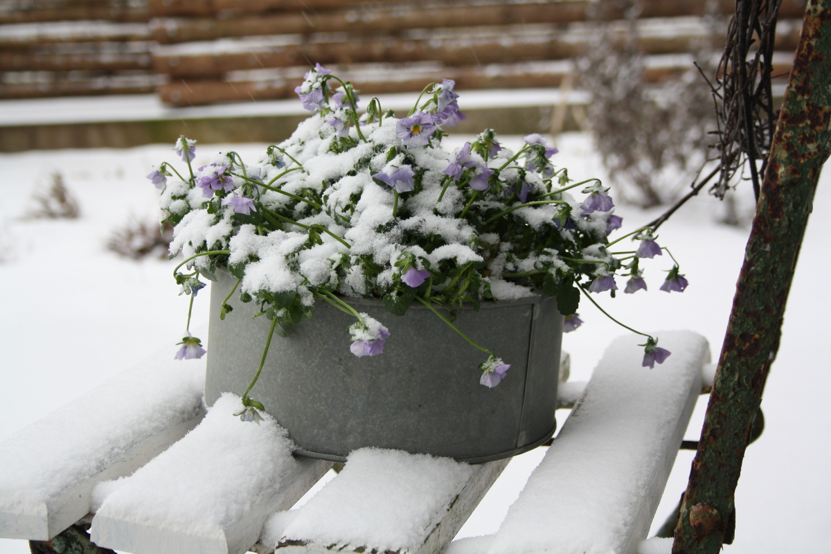 Hornvioler med sne