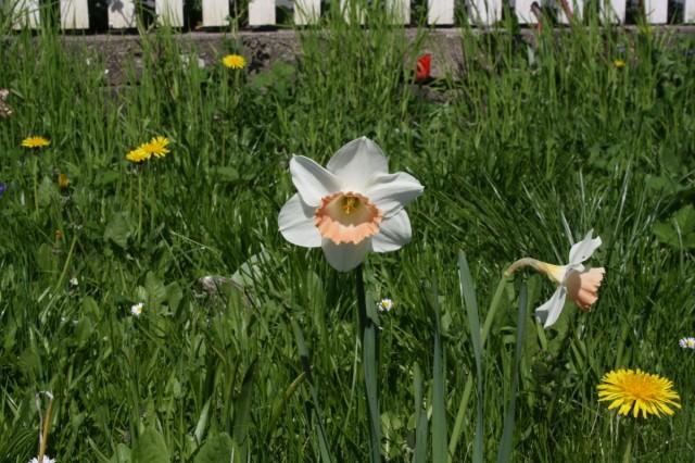 Narcis i græs