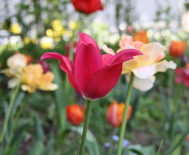 pink tulipan