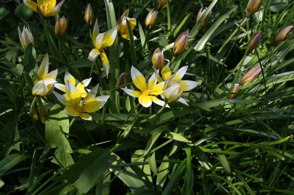 Botaniske tulipaner