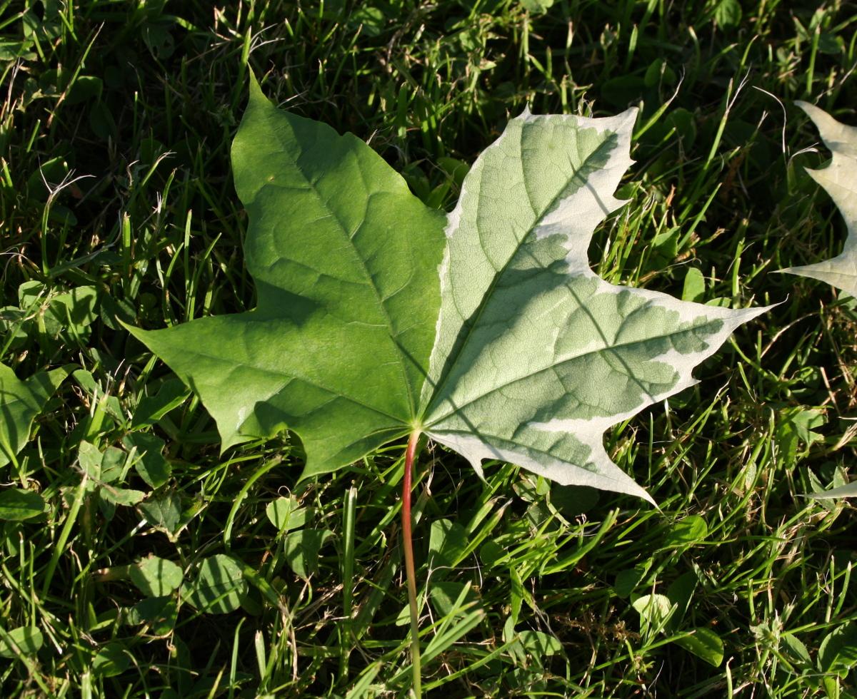 Brogetbladet spidsløn blad