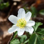Hvid anemone