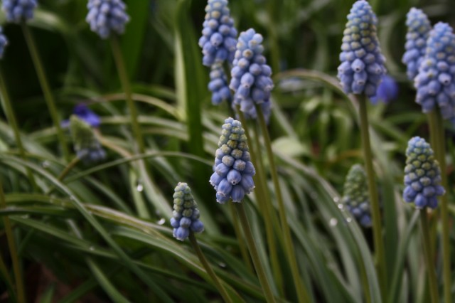 Muscari blue magic