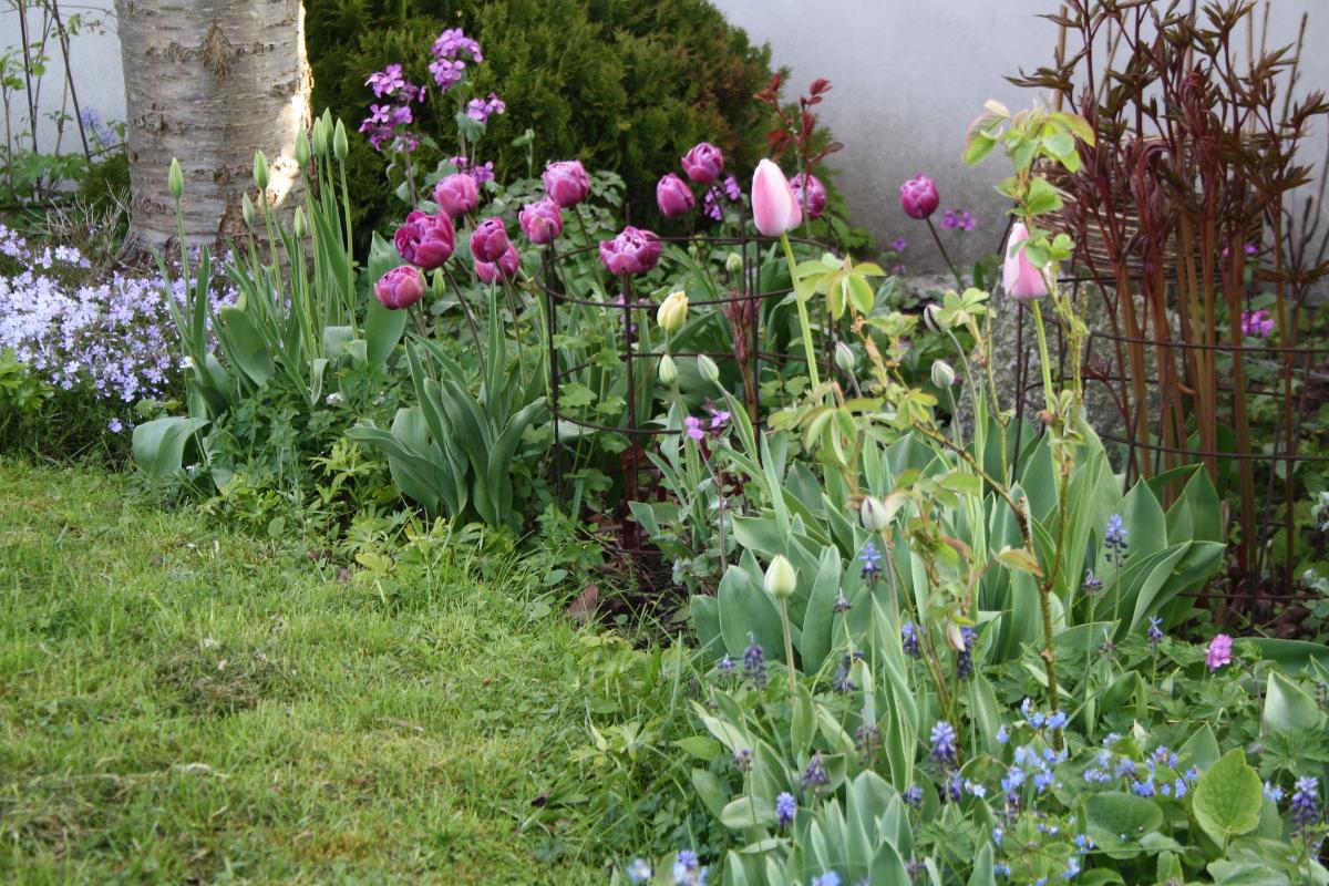 Tulipaner ved sydmuren