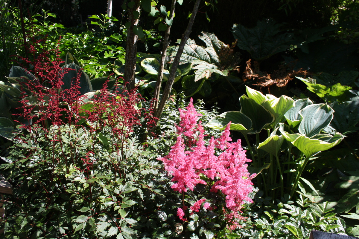 Astilbe i Lotties Trädgård