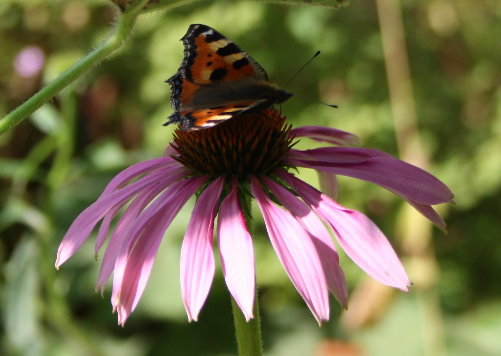 Purpursolhat med sommerfugl
