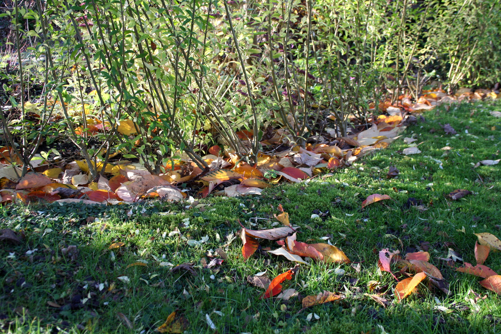Blade under ligusterhækken