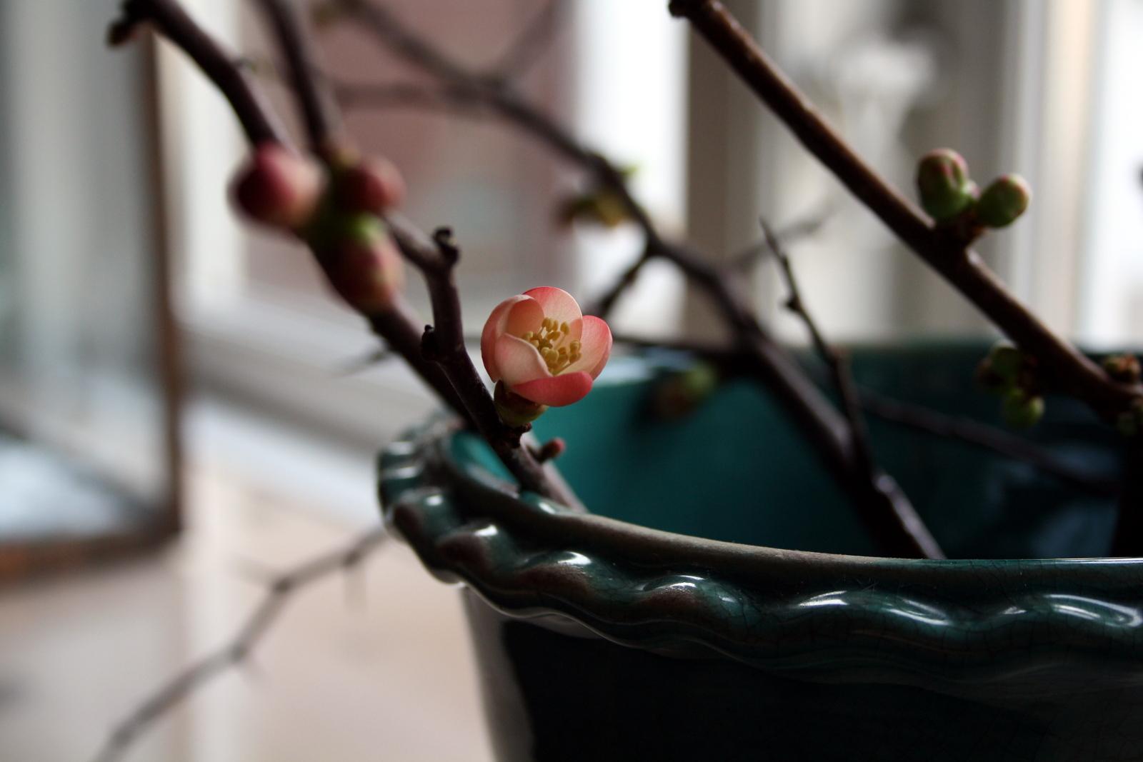 Kvædeblomster