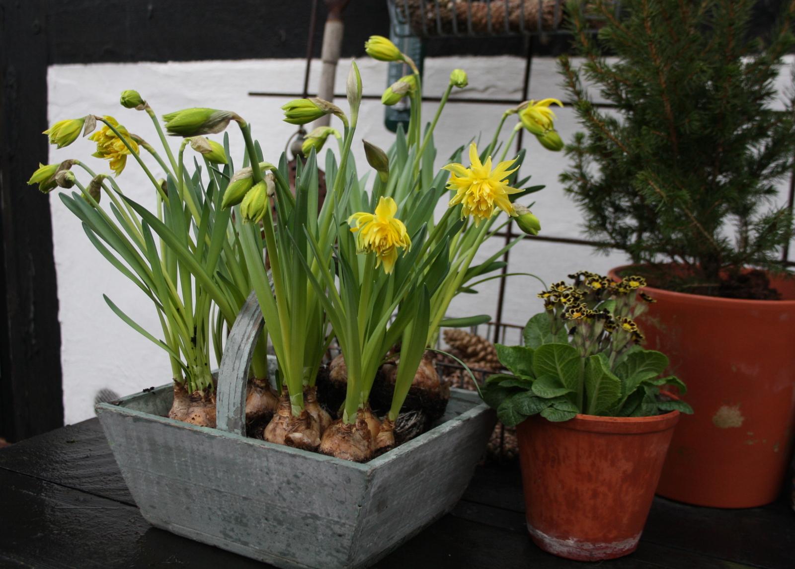 Narcis rip van wrinkle