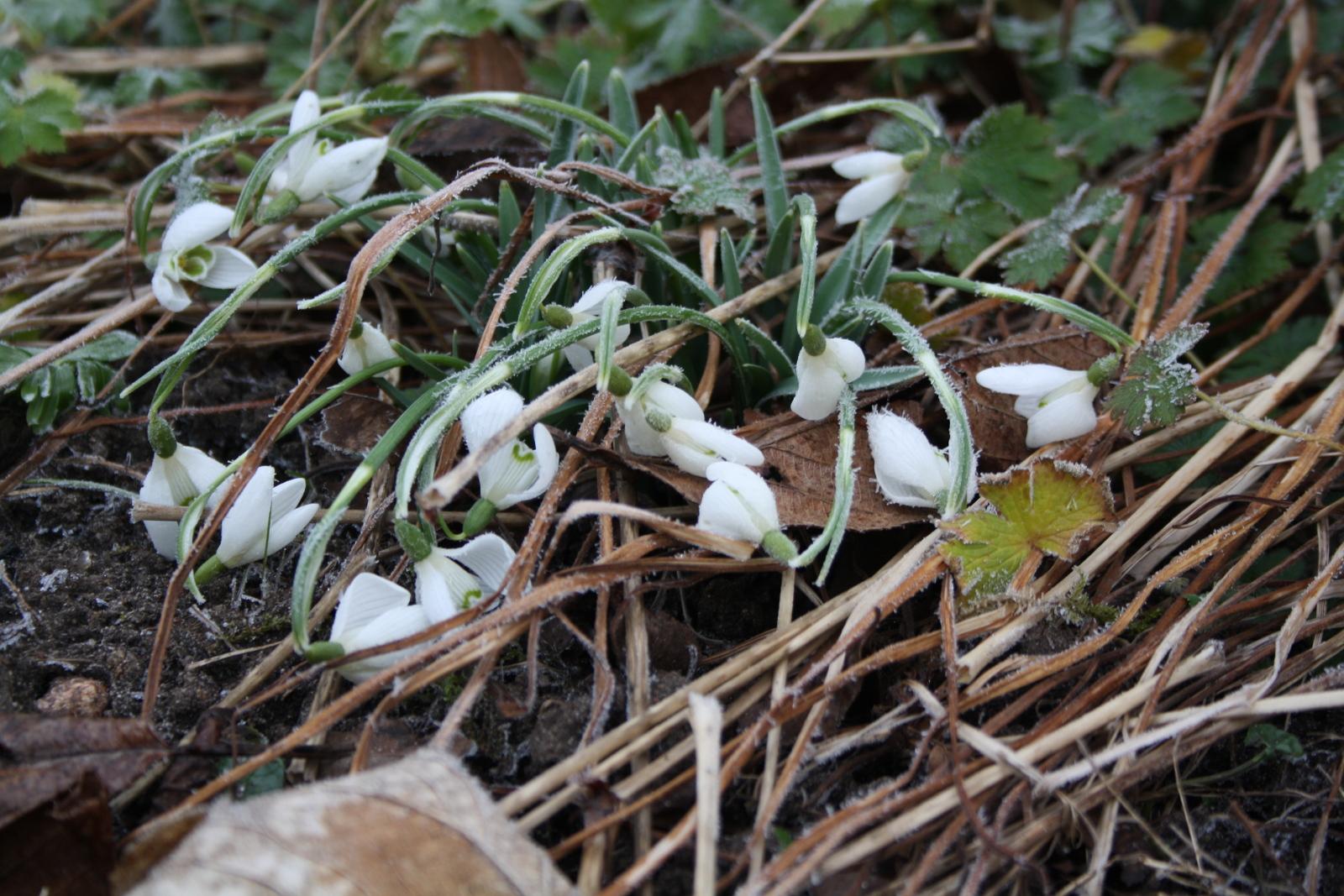 Vintergækker med frost