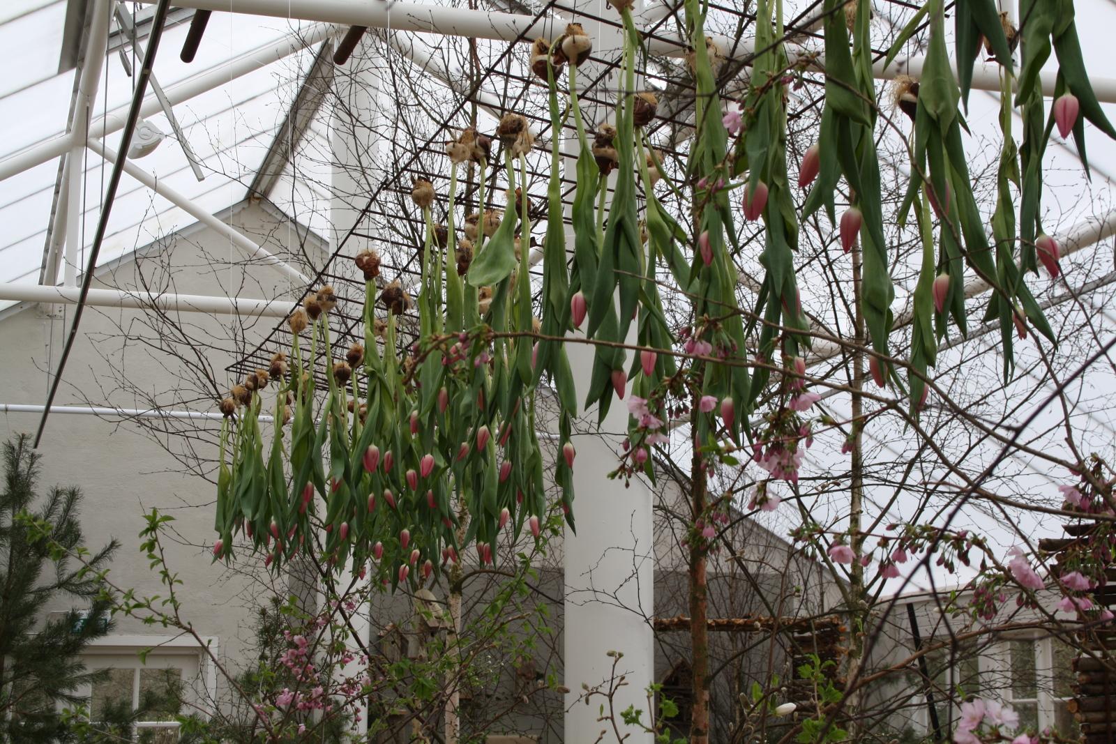 Hængende tulipaner