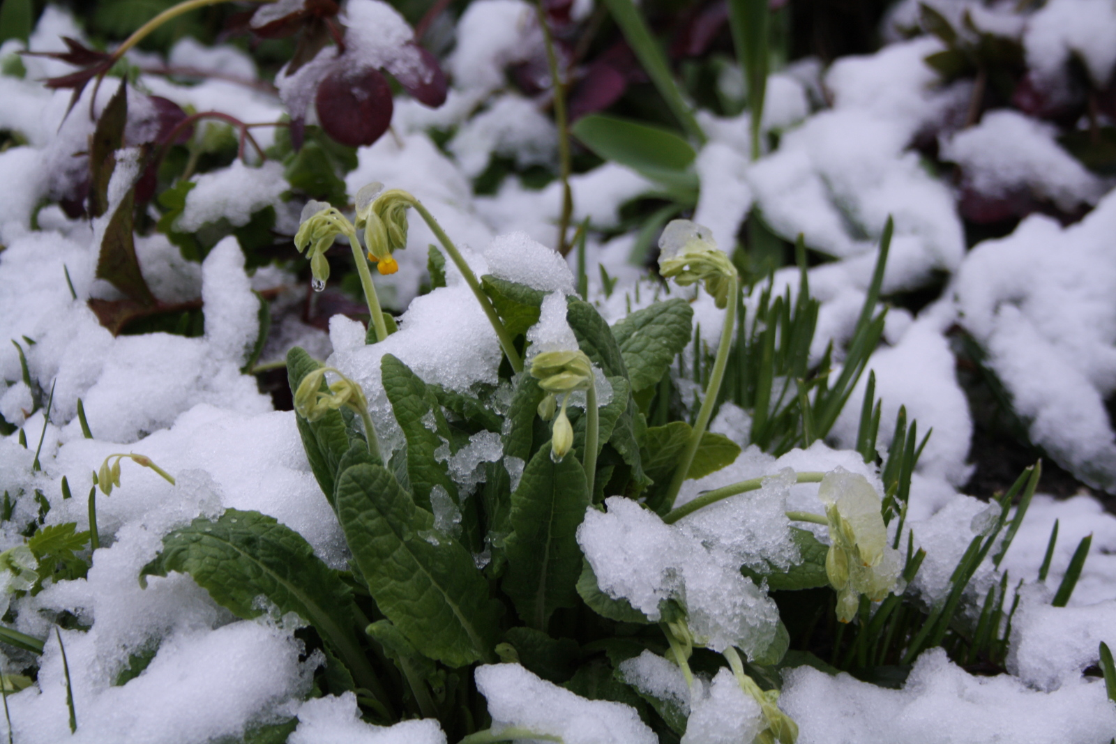 Primula med sne