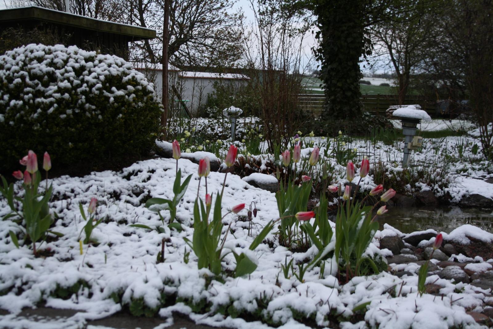 Tulipaner i sneen