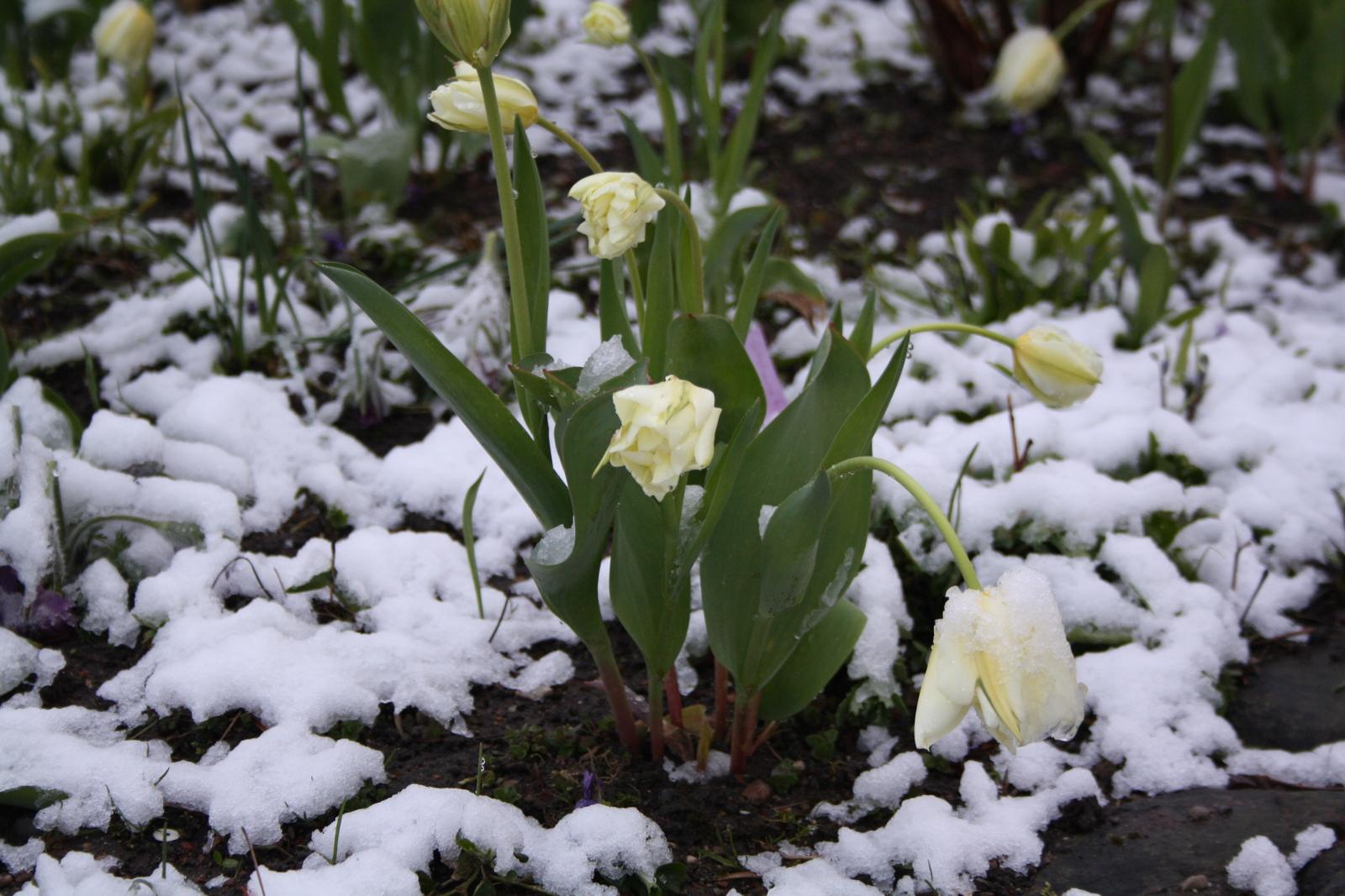 Tulipaner med sne
