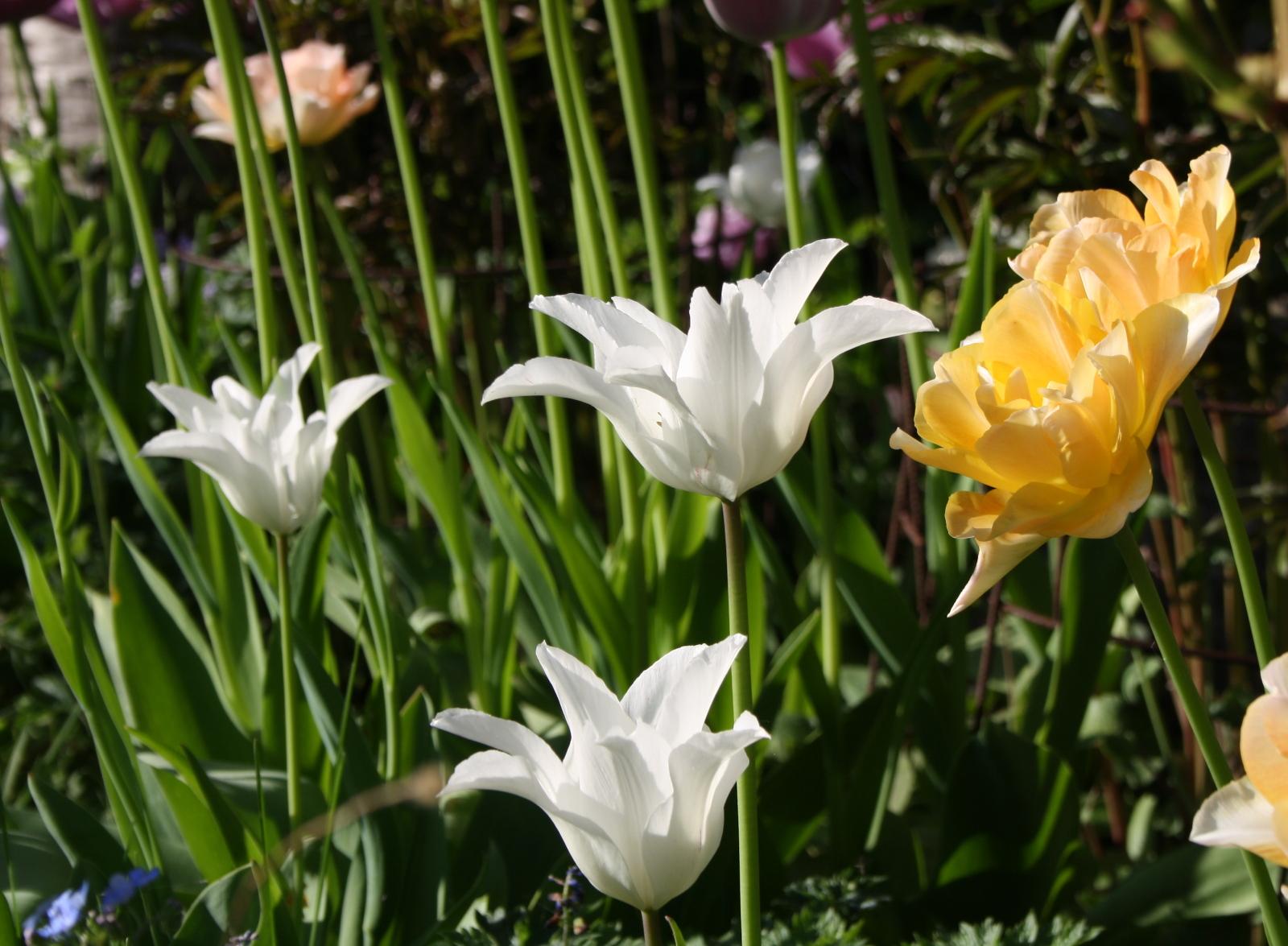 Liljeformede tulipaner