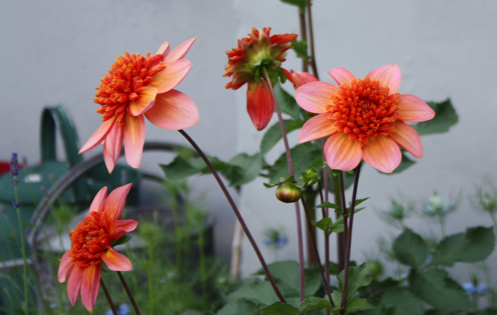 Dahlia Totally Tangerine
