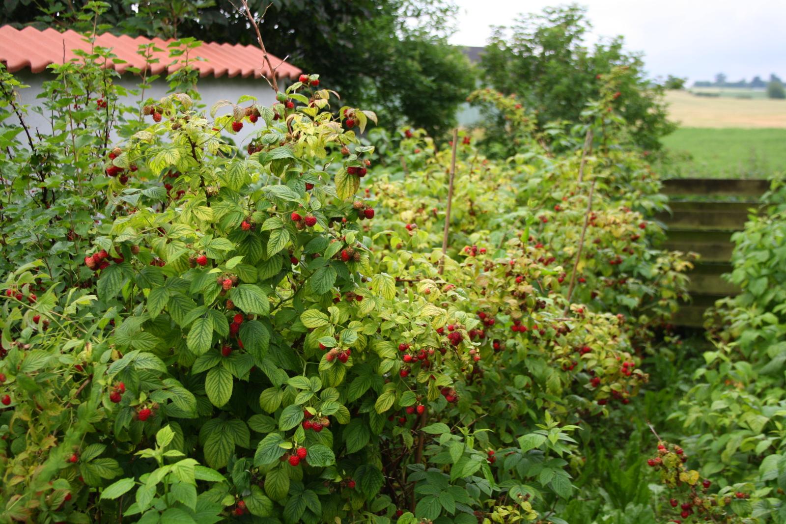 Sommerhindbær
