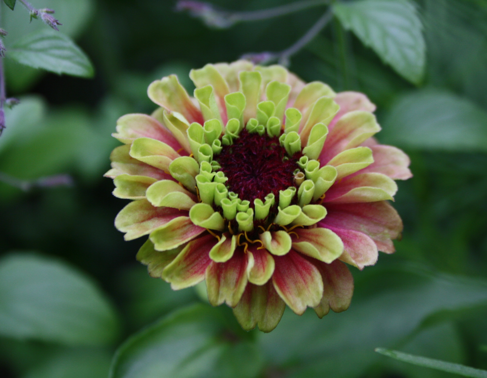 Zinia queen red lime1